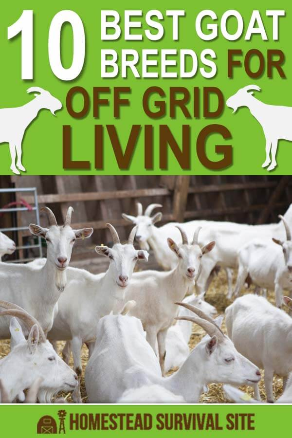 10 Best Goat Breeds for Off Grid Living