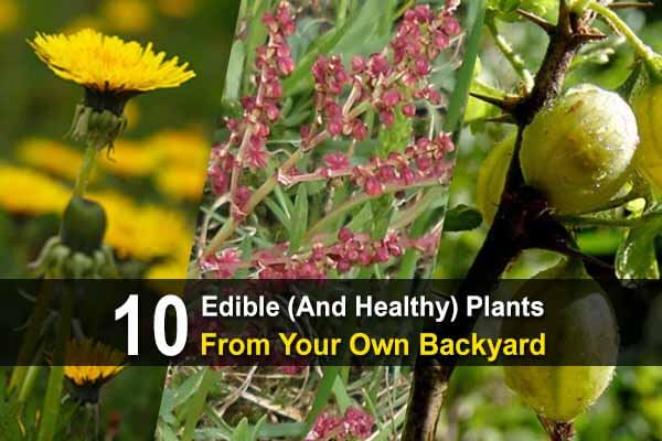 10 Edible (and Healthy) Plants from Your Own Backyard – Summer Edition