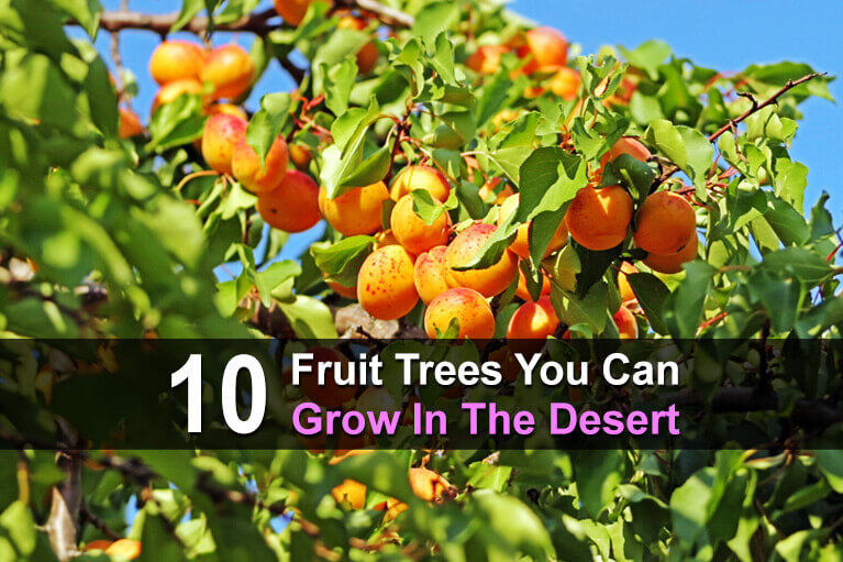 10 Fruit Trees You Can Grow In The Desert
