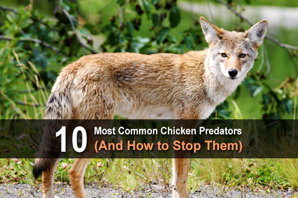 10 Most Common Chicken Predators (And How to Stop Them)