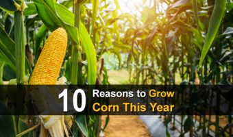 10 Reasons to Grow Corn This Year