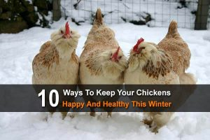 10 Ways To Keep Your Chickens Happy And Healthy This Winter