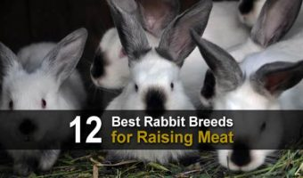 12 Best Rabbit Breeds for Raising Meat