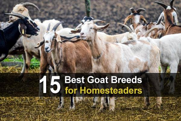 15 Best Goat Breeds for Homesteaders