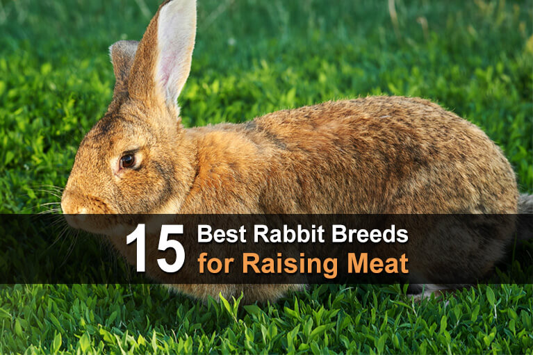 15 Best Rabbit Breeds for Raising Meat