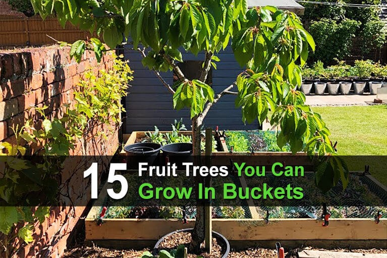 15 Fruit Trees You Can Grow In Buckets