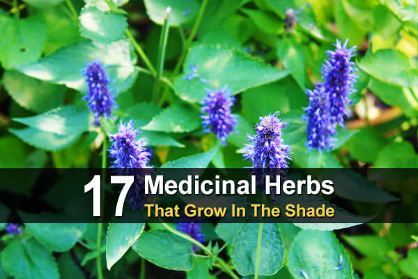 17 Medicinal Herbs That Grow In The Shade
