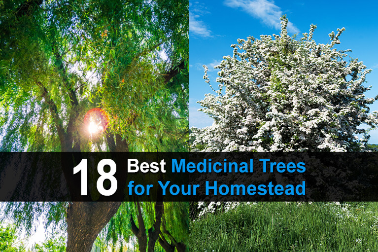 18 Best Medicinal Trees For Your Homestead