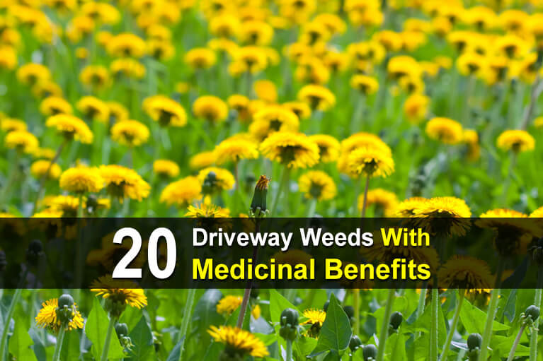 20 Driveway Weeds With Medicinal Benefits