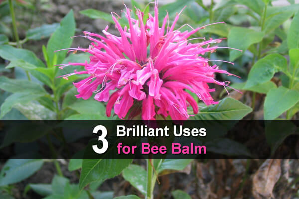 3 Brilliant Uses for Bee Balm