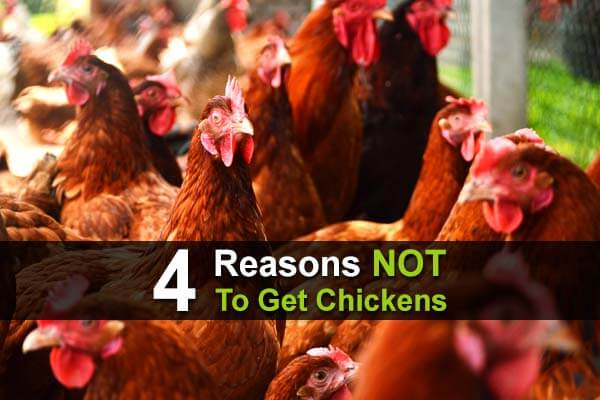 4 Reasons NOT To Get Chickens