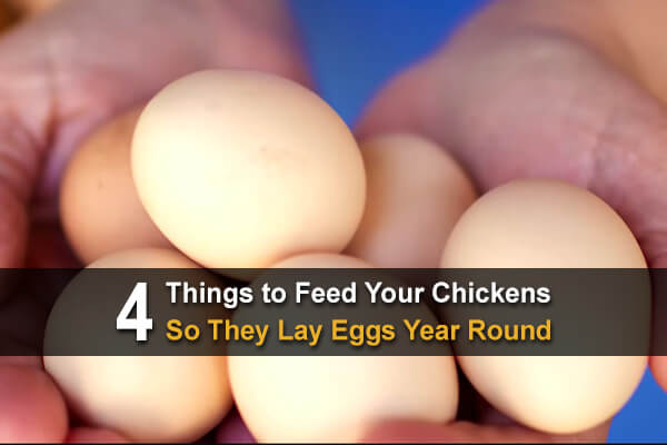 4 Things to Feed to Your Chickens So They Lay Eggs Year Round