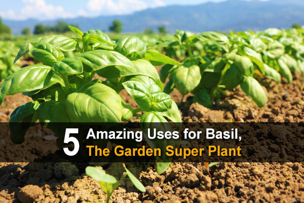 5 Amazing Uses for Basil, The Garden Super Plant