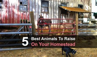 5 Best Animals To Raise On Your Homestead