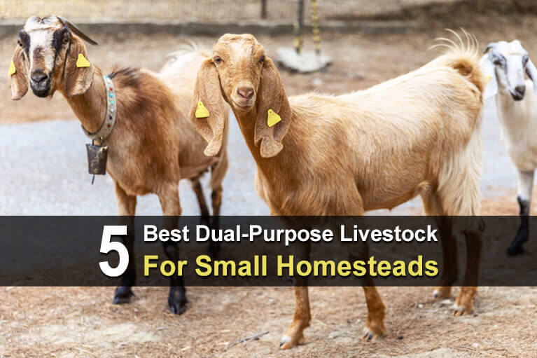 5 Best Dual-Purpose Livestock For Small Homesteads