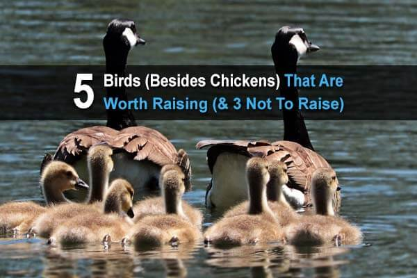 5 Birds (Besides Chickens) That Are Worth Raising (& 3 Not To Raise)