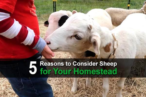 5 Reasons to Consider Sheep for Your Homestead