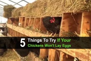 5 Things To Try If Your Chickens Won't Lay Eggs