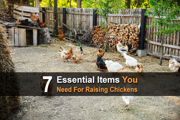 7 Essential Items You Need For Raising Chickens