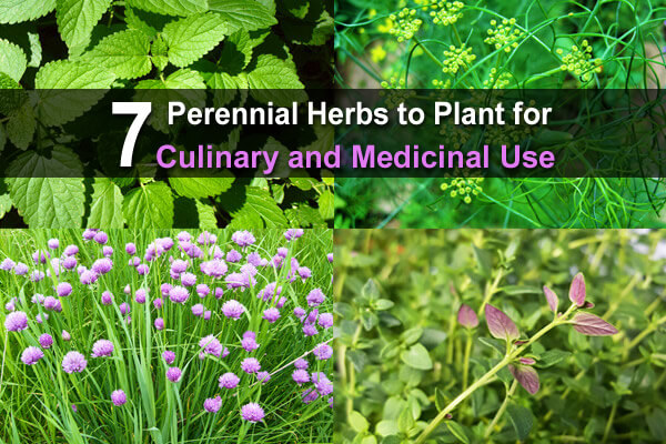 7 Perennial Herbs to Plant for Culinary and Medicinal Use