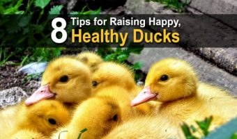 8 Tips for Raising Happy, Healthy Ducks