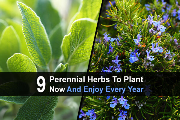 9 Perennial Herbs To Plant Now And Enjoy Every Year