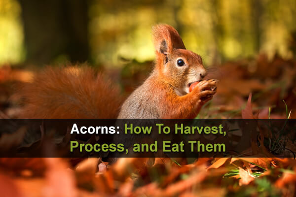 Acorns: How To Harvest, Process, and Eat Them