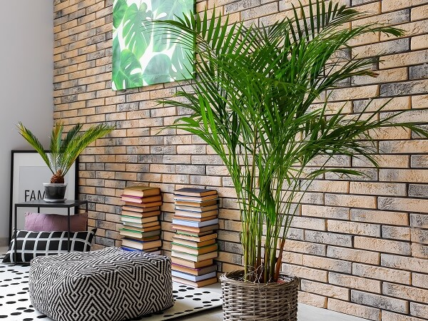 Areca Palm Indoors