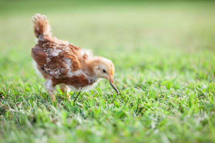 Baby Chick Eating A Worm