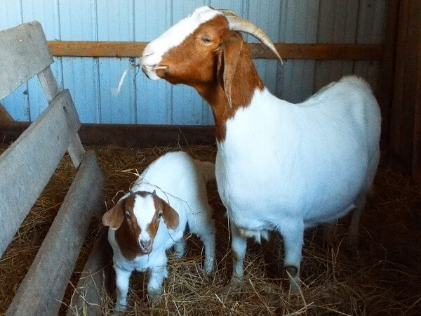 Baby Goat and Mother