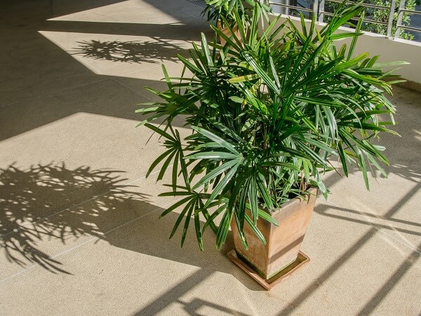 Bamboo Palm in Pot
