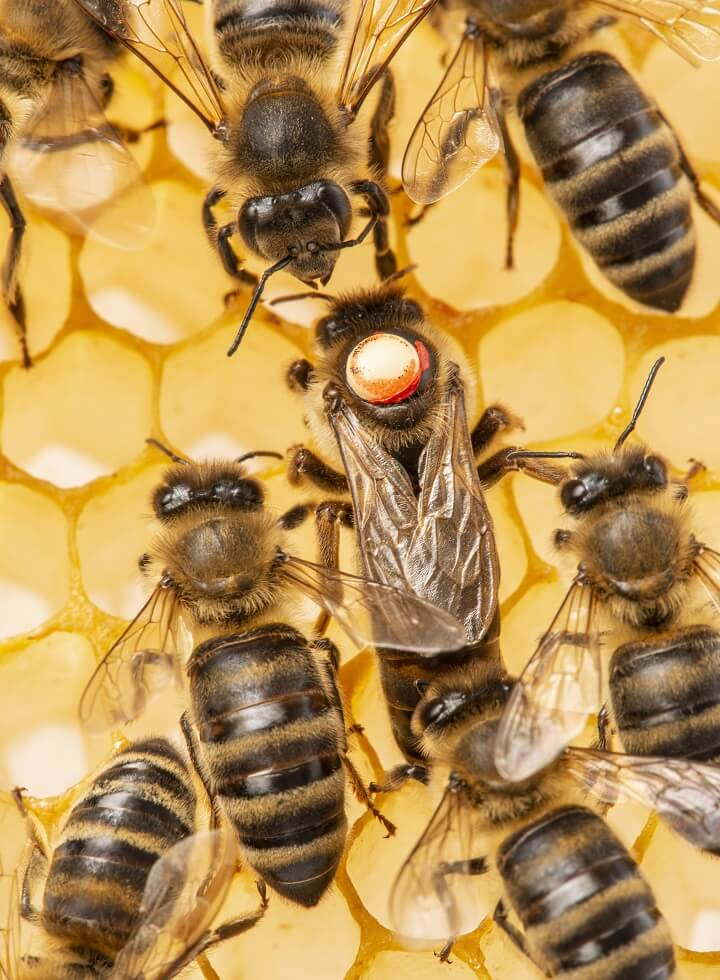 Beekeeping Queen Marked With A Dot