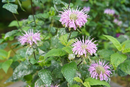 Bergamot Purple Flowers