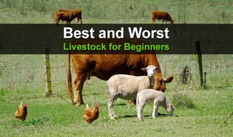 Best and Worst Livestock for Beginners