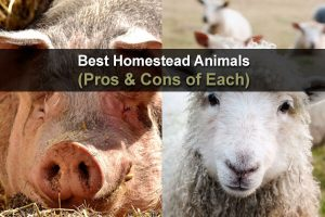 Best Homestead Animals (Pros & Cons of Each)