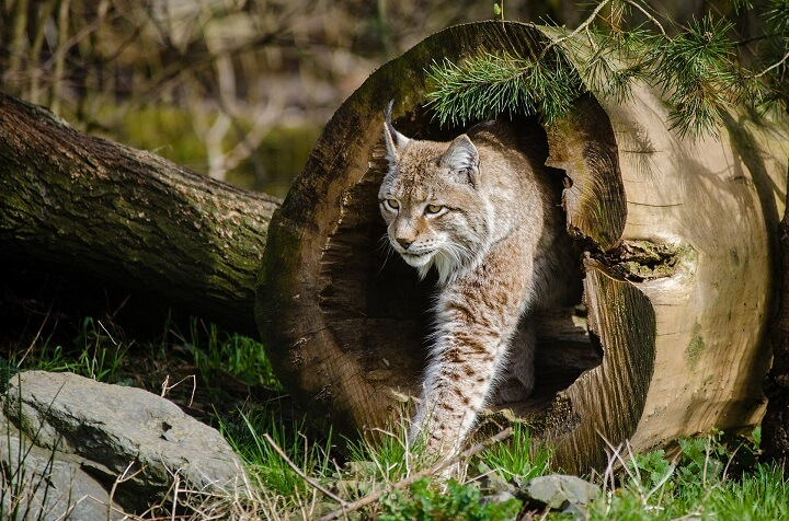 Bobcat In Woods