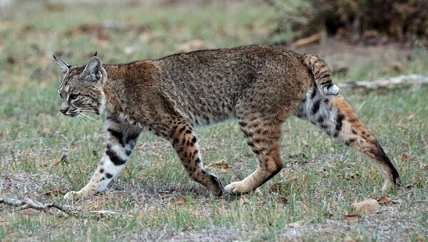 Bobcat | Predators to Beware Of On Your Homestead