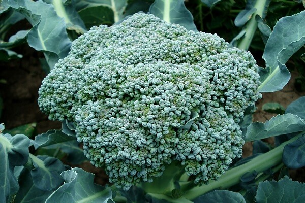 Broccoli | Foods That Store Well in Root Cellars