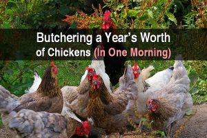 Butchering a Year's Worth of Chickens (In One Morning)