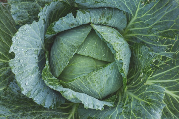Cabbage | Foods That Store Well in Root Cellars