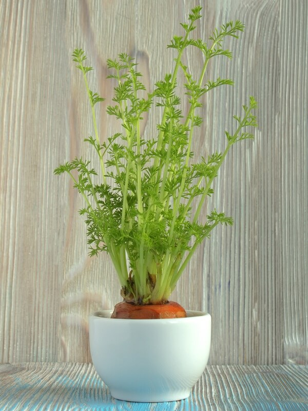 Carrot Growing in Cup