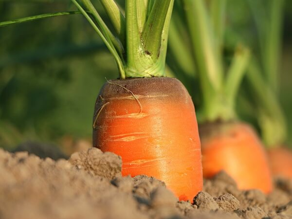 Carrot in Soil