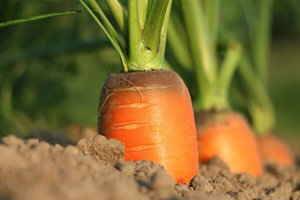 Carrots | Foods That Store Well in Root Cellars