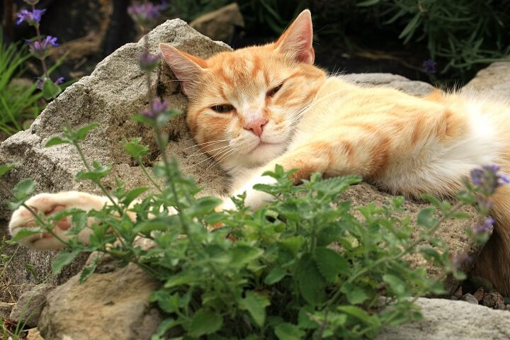 Cat Lying Next To Catnip Plant
