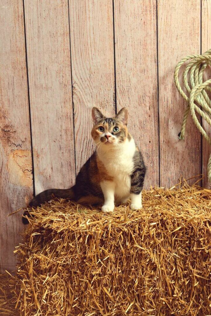 Cat On Bale Of Hay In Barn