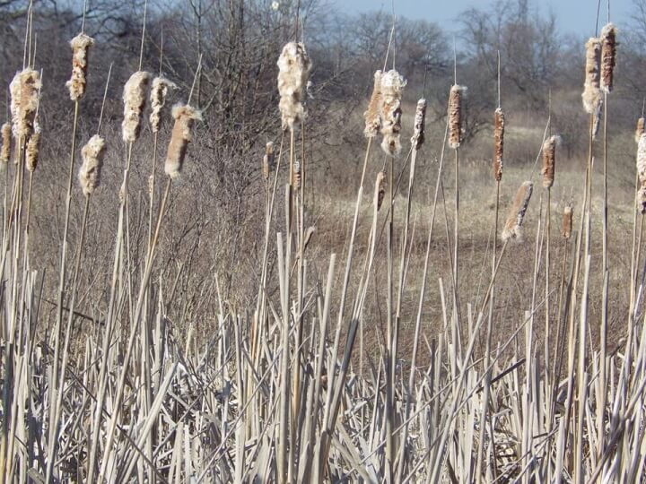 Cattail Stalks In Winter