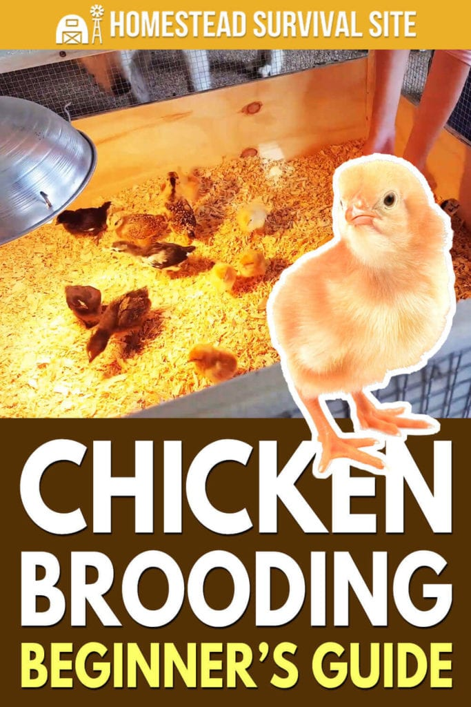Chicken Brooding Beginner's Guide