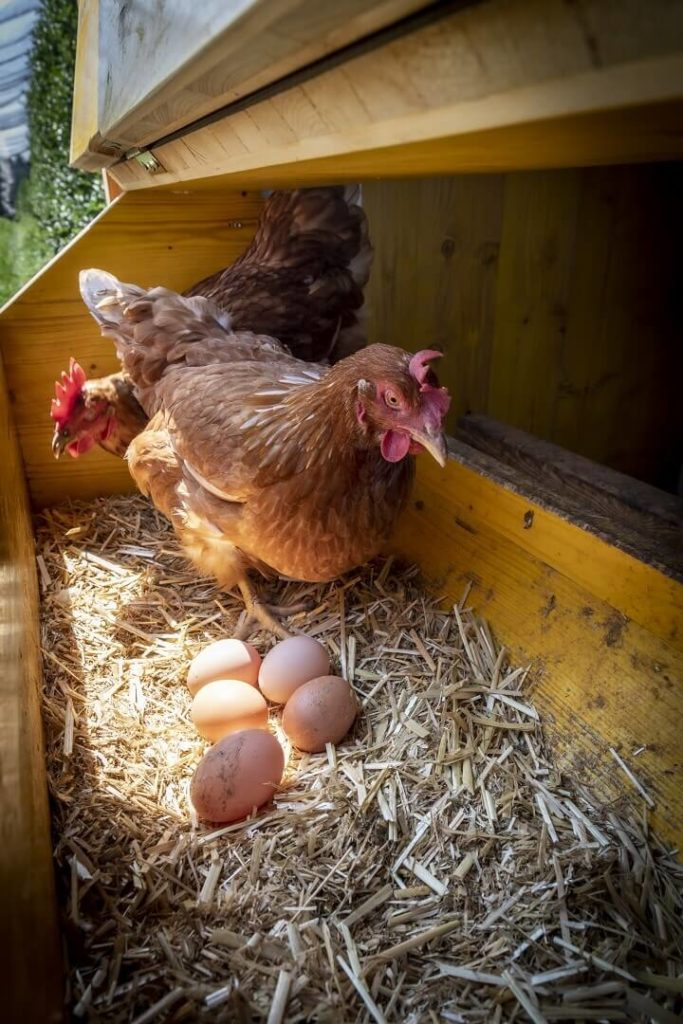 Chicken With Eggs In Henhouse