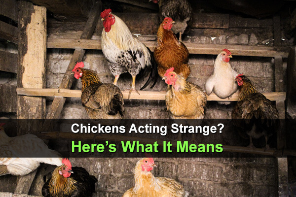 Chickens Acting Strange? Here's What It Means