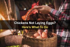Chickens Not Laying Eggs? Here's What To Do